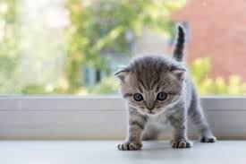 grey kitten standing with it's legs wide apart