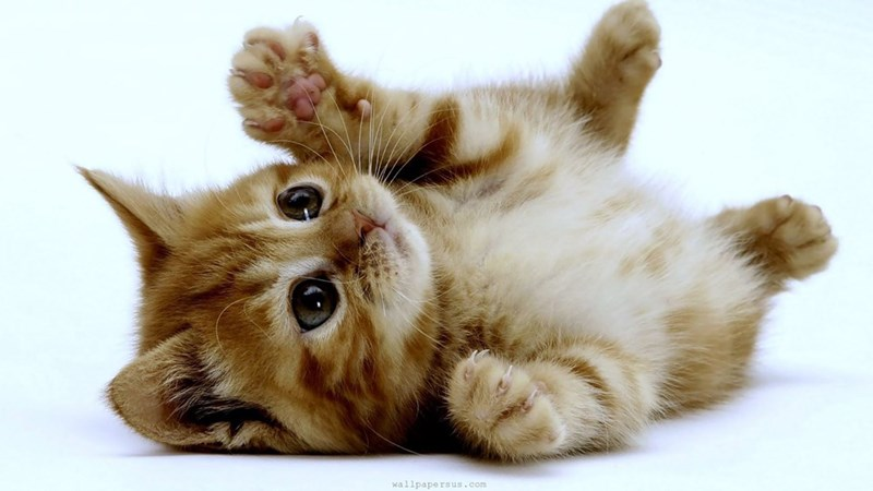 ginger kitten rolling on its back with its paws in the air