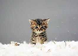 an adorable picture of a tabby brown kitten looking dejected among a pile of white feathers