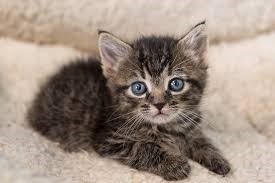 brown tabby kitten with blue eyes sitting down and looking at the camera