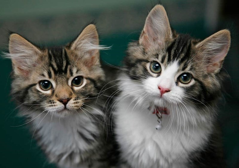 two tabby kittens with white chests standing together
