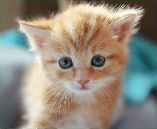 ginger kitten with blue eyes