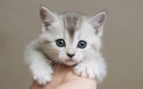 light grey kitten with blue eyes being held by a human's hand against a grey background