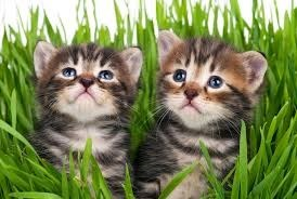 two identical tabby kittens among some green grass with a white background