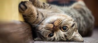 tabby kitten lying on its back looking at the camera
