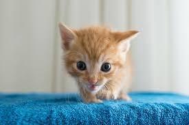 tiny ginger kitten on a blue towel