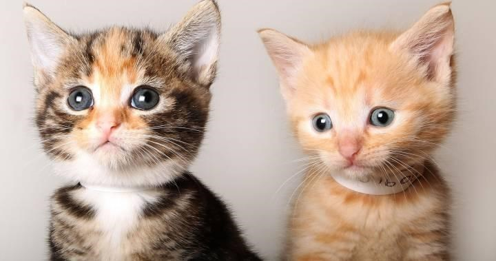 brown tabby and a ginger kitten sitting together, both with blue eyes