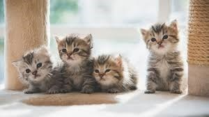 four fluffy tabby kittens sitting together near a scratching pole
