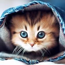 kitten with bright blue eyes hiding inside the leg of a pair of jeans looking out