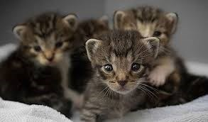 litter of tabby brown kittens sitting together
