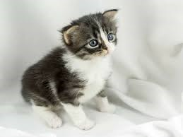 grey kitten with a white chest and paws sitting on a white sheet