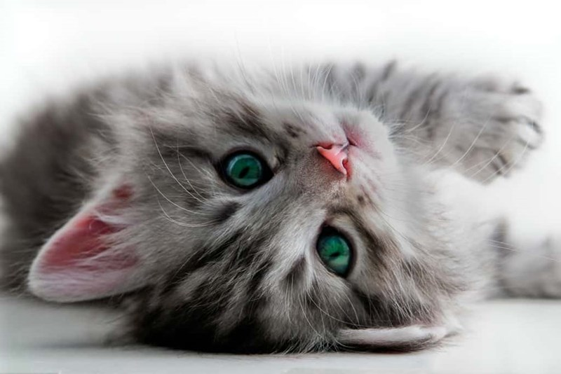 fluffy grey kitten with green eyes lying on its back