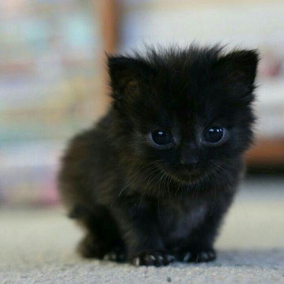 black kitten crouching