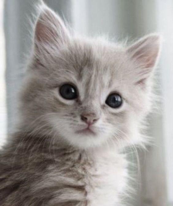 light grey kitten with dark eyes looking at something