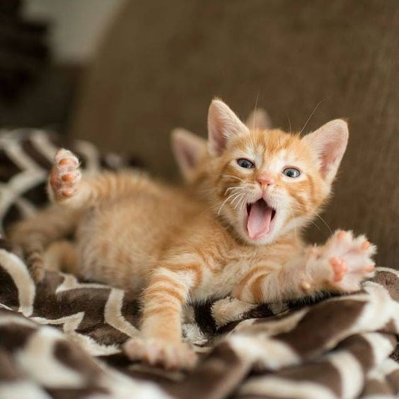 ginger kitten yawning and stretching