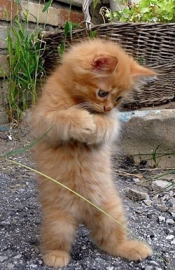 ginger kitten standing on its hind legs and looking worriedly at something on the ground