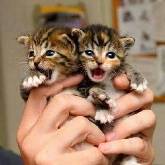 two tiny brown tabby kittens being held in someone's hands and meowing