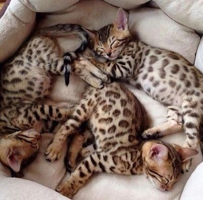 three spotted kittens lying in a kitten bed