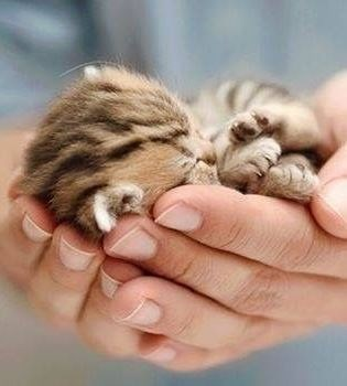 tiny brown kitten sleeping curled up in someone's palms