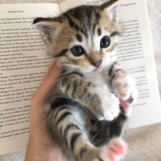 tabby black and brown kitten being held in someone's hand over an open book