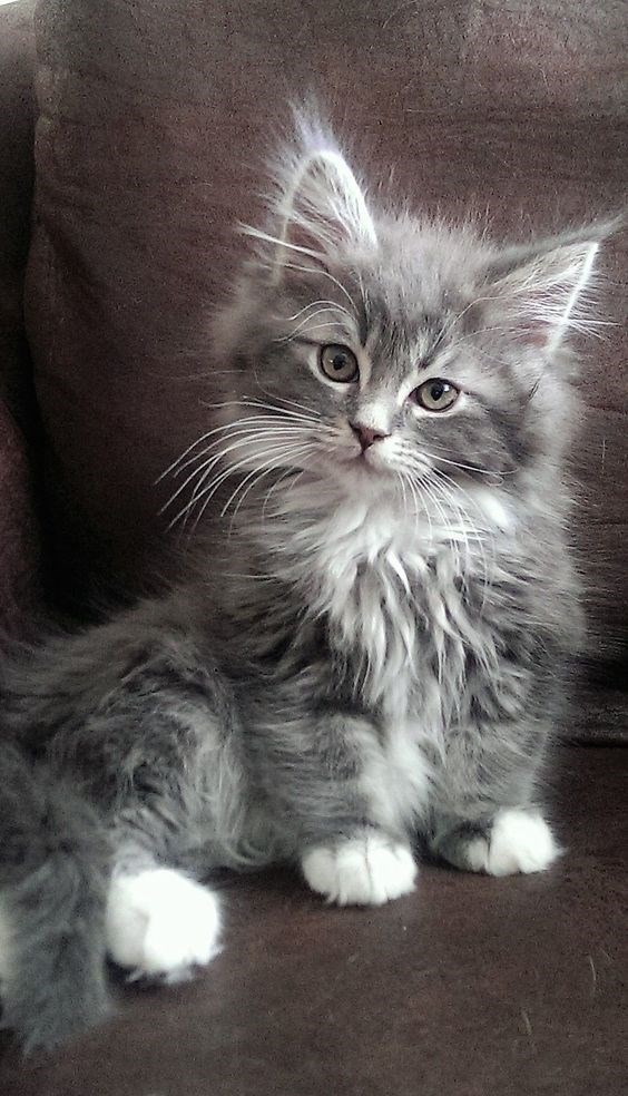 very fluffy grey kitten with white paws sitting on a couch