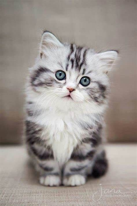 grey and white fluffy kitten with blue eyes with adorable paws