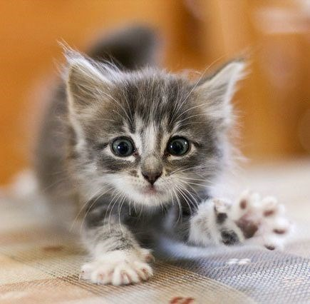 grey kitten stretching its arms and paws