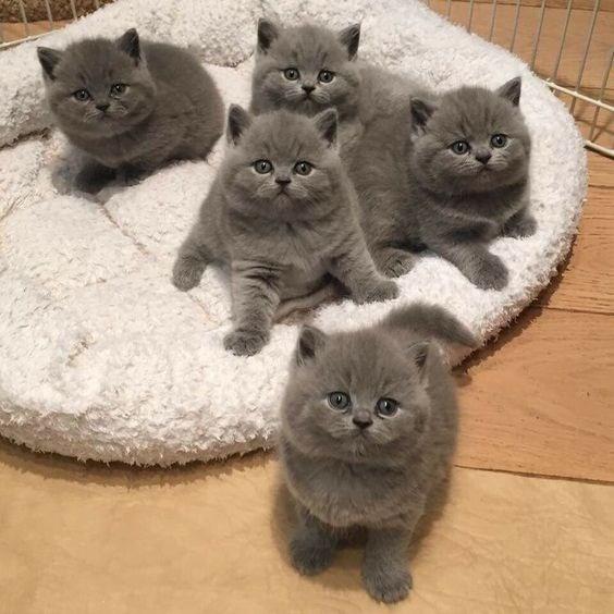 five identical grey fat kittens sitting in a kitten bed