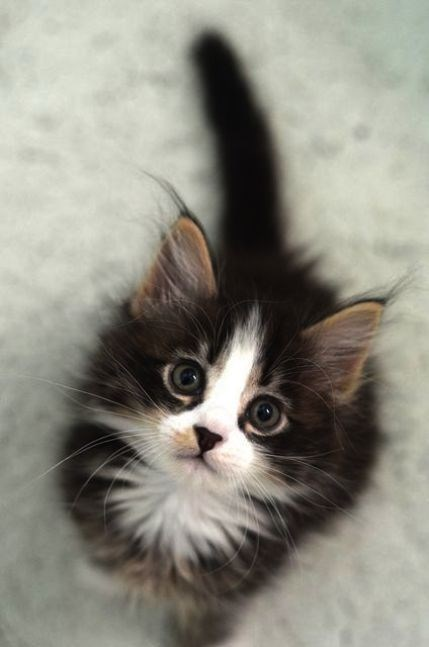 black kitten with a white nose looking up at the camera