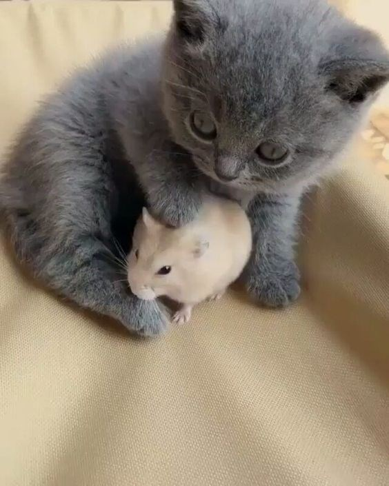 fat grey kitten with one paw on a small mouse