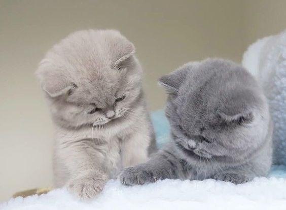 two grey fluffy kittens