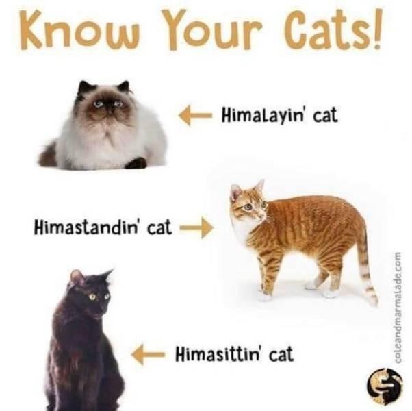 Cat - Know Your Cats! Himalayin cat Himastandin' cat Himasittin cat coleandmarmalade.com