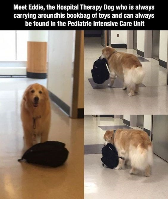 wholesome meme of a Dog - Meet Eddie, the Hospital Therapy Dog who is always carrying aroundhis bookbag of toys and can always be found in the Pediatric Intensive Care Unit