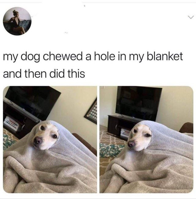 wholesome meme - Canidae - my dog cheweda hole in my blanket and then did this