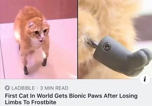 wholesome meme - Felidae - i LADBIBLE 3 MIN READ First Cat In World Gets Bionic Paws After Losing Limbs To Frostbite