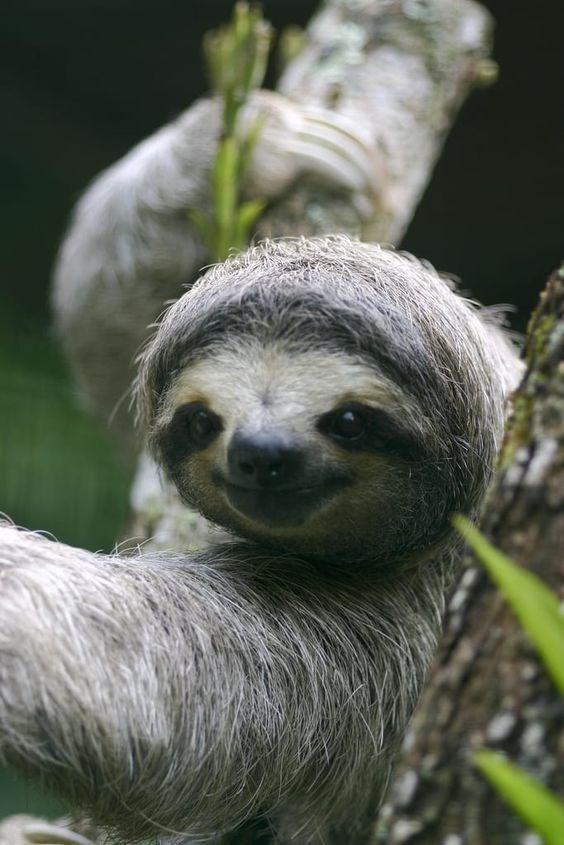 funny sloth - Vertebrate