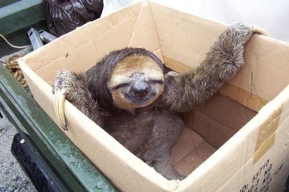 funny sloth - Three-toed sloth