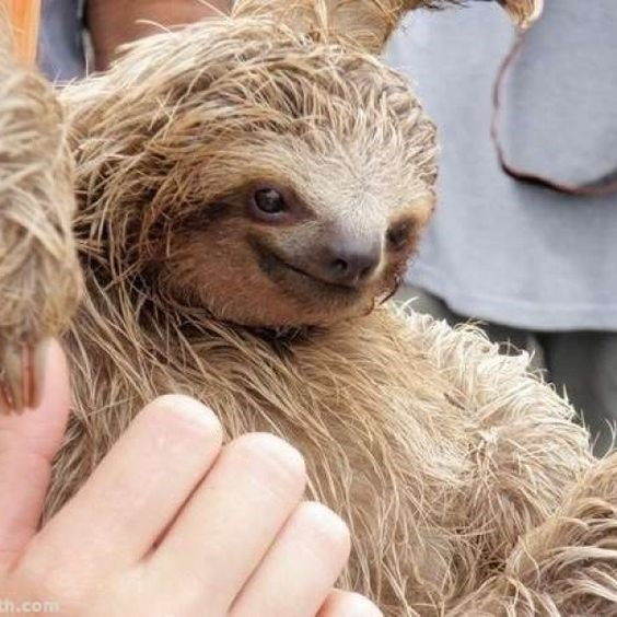 funny sloth - Three-toed sloth - th.com
