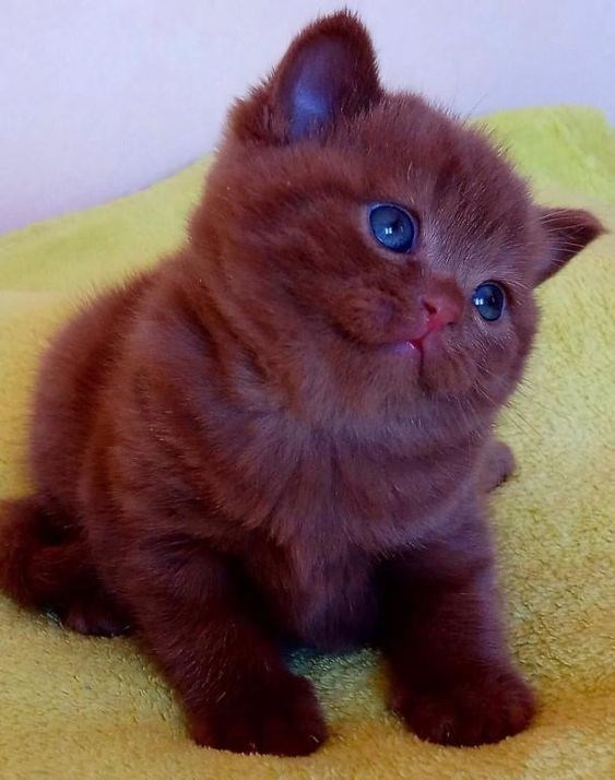 fat chocolate brown cat with clue eyes