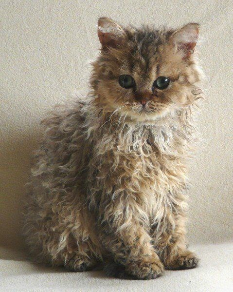 curly haired light brown kitten