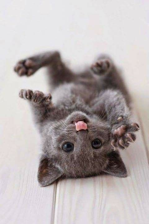 tiny grey cat playing on its back with its paws in the air