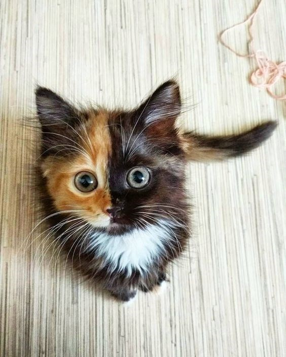 cat with half ginger and half black face sitting and looking up at camera