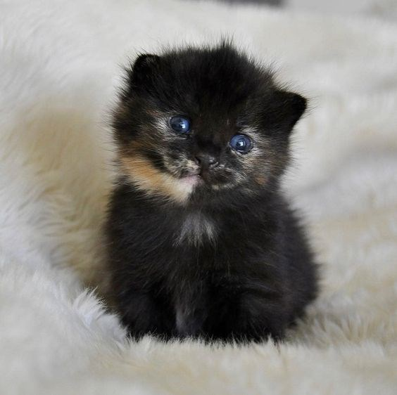 tiny black kitten with small ginger patch of fur and blue eyes
