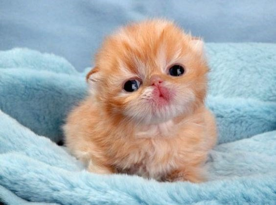 tiny ginger kitten with black eyes sitting on blue blanket
