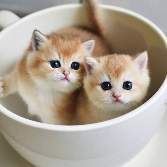 two identical light brown and white kittens with blue eyes inside a big white teacup