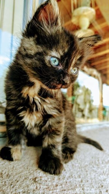 mottled black and brown cat with blue eyes sitting and looking at something