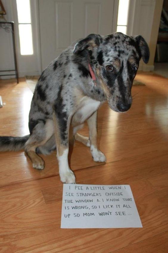 dog shamed for peeing in house