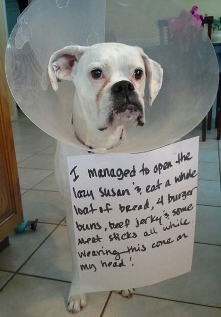 dog with cone guilty of eating too much human food