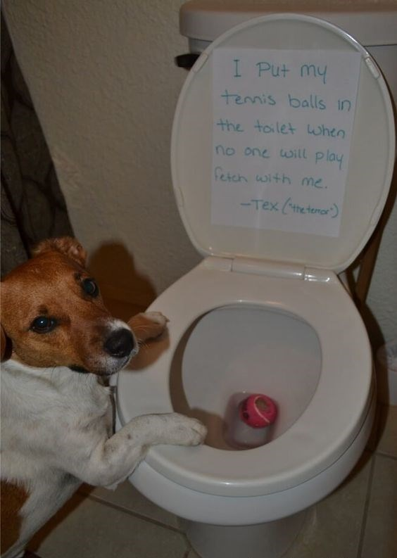 dog guilty of dropping tennis ball in toilet