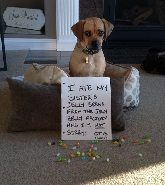 guilty dog - Dog - Jusei ariel SNasch 30 2012 I ATE MY SISTER'S JELLY BEANS FROM THE Jeuy BELLY FACTORy AND M NOT SORR OTIS (woOF